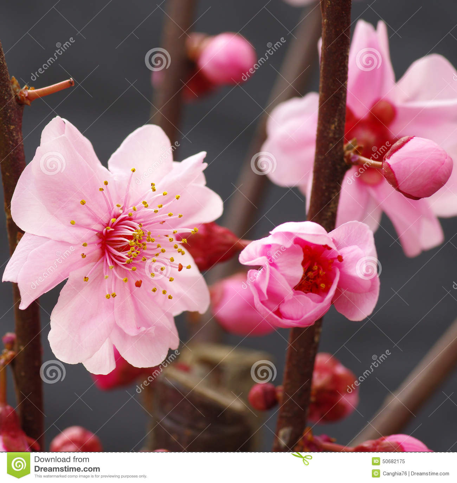 Download 李子花开花 库存图片. 图片 包括有 工厂, brander, 空白, 开花, 芬芳, 自然, 新鲜, 格式 - 50682175