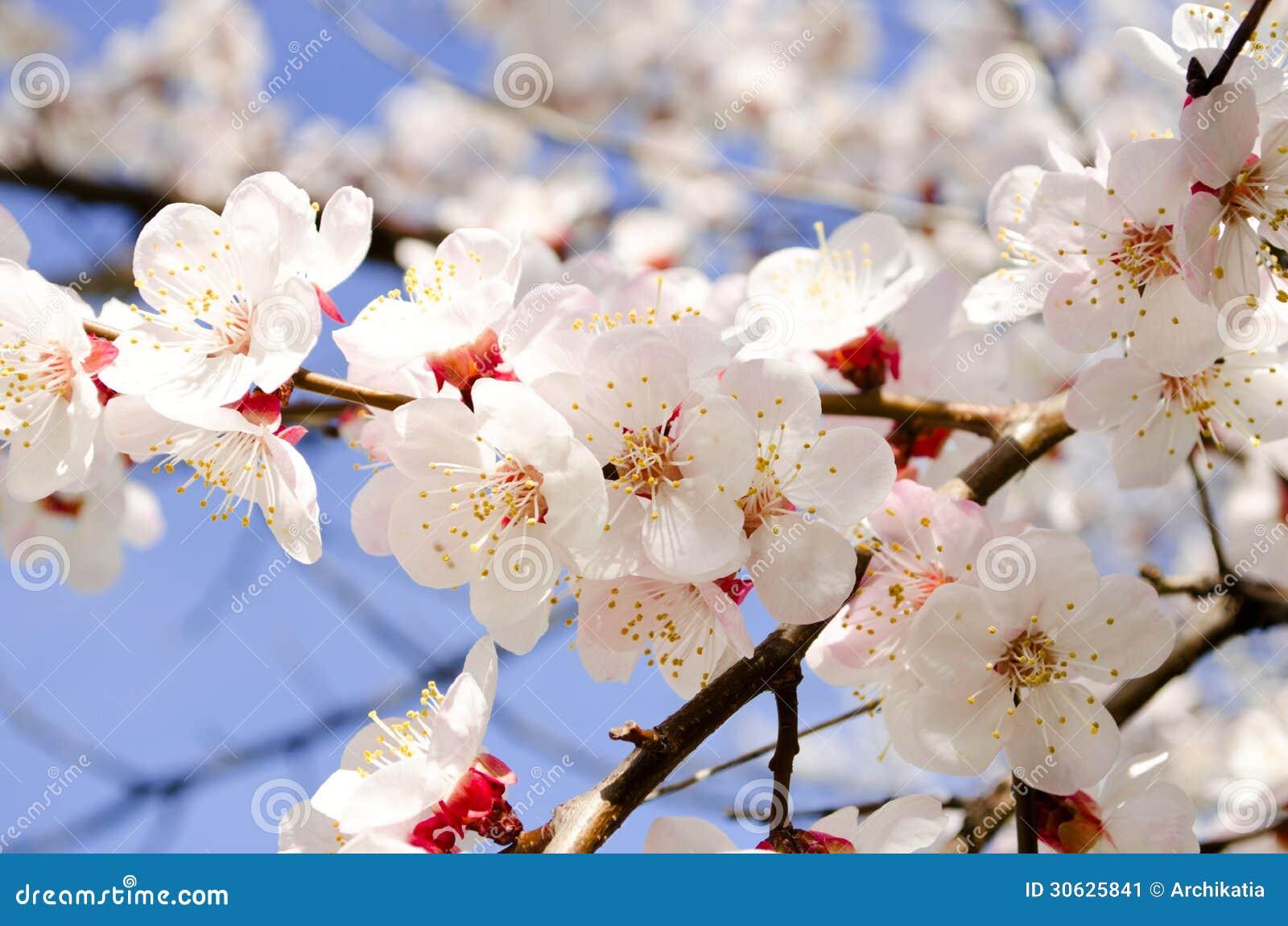 杏樹美好的開花的分支.圖片