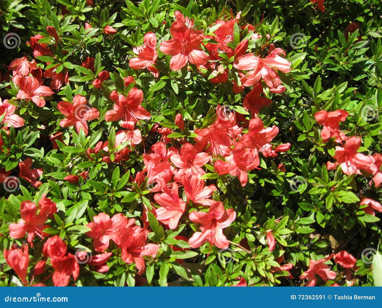 杜娟花花卉绿叶背景