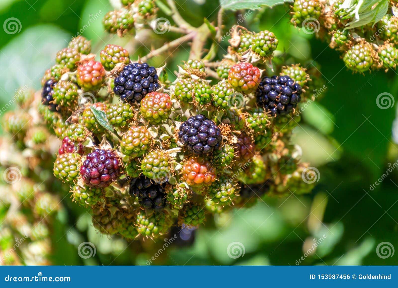 束在灌木的成熟和未成熟的黑莓在庭院里