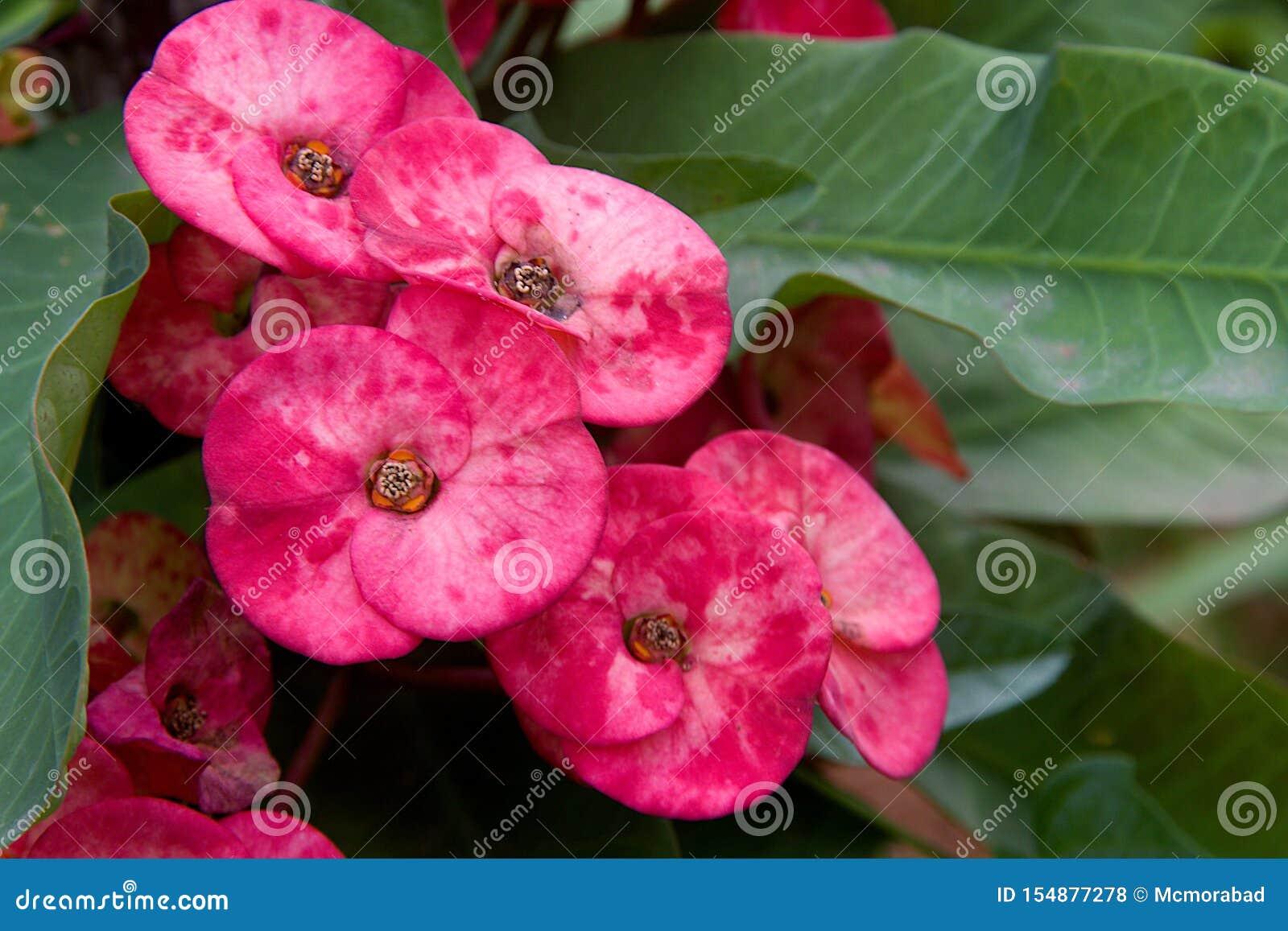 束富有,桃红色色的花