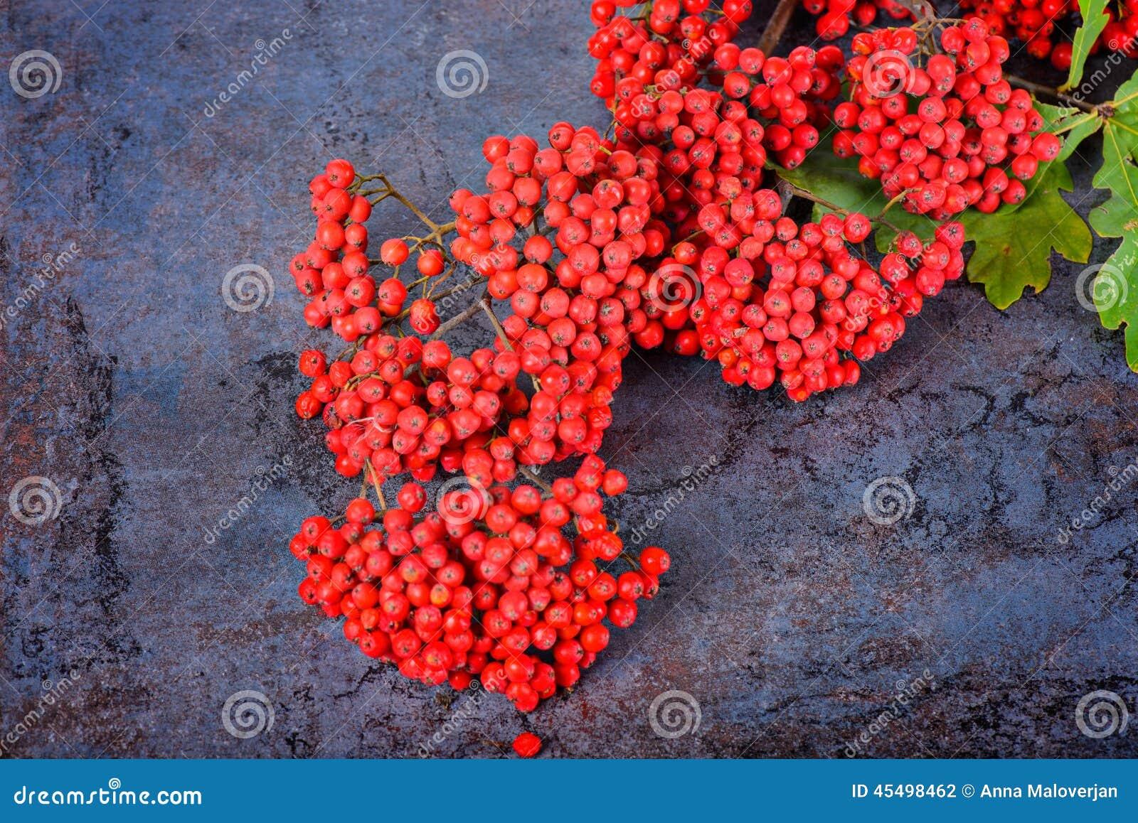 束红色花楸浆果