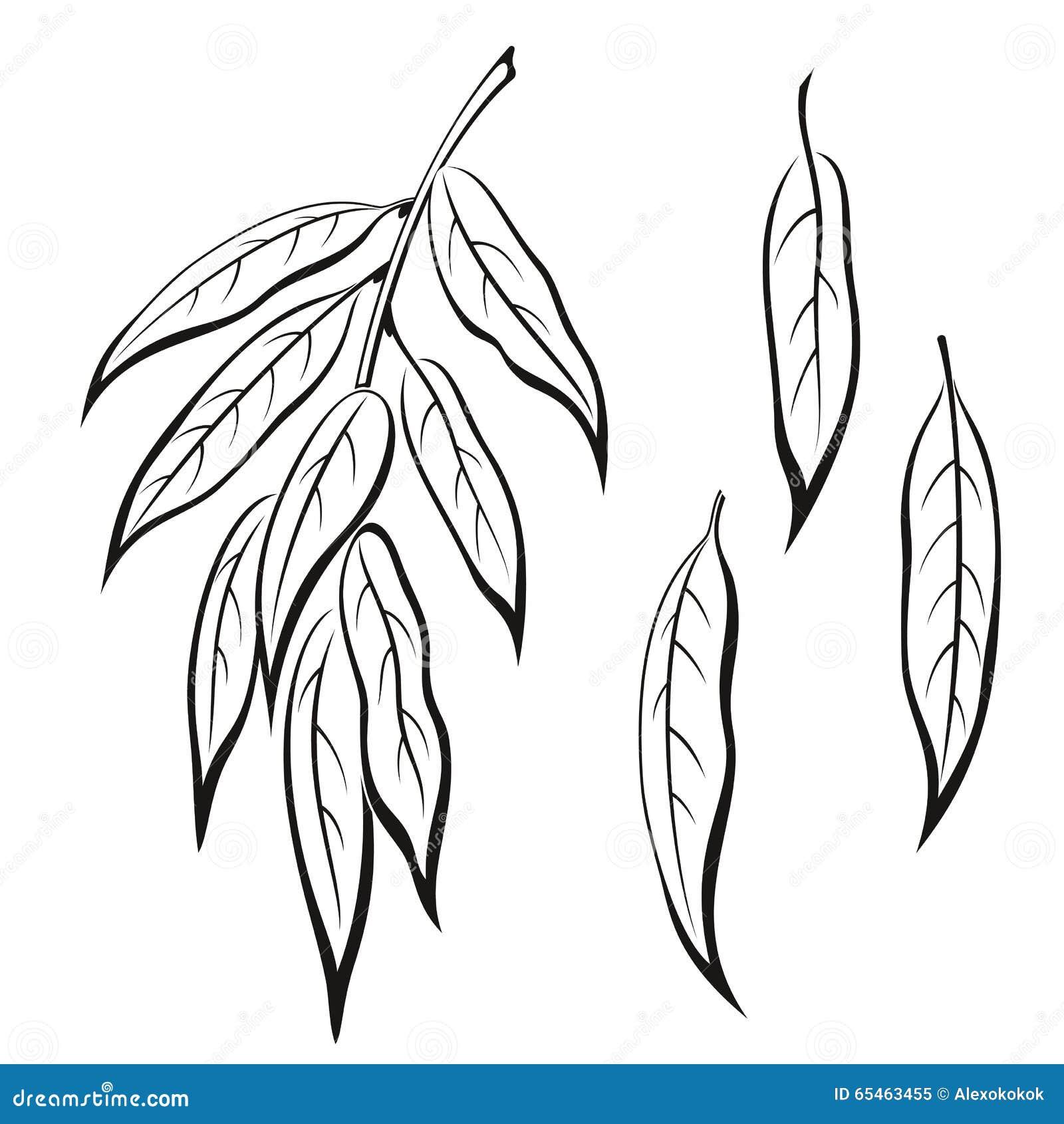 套植物图表,柳树叶子,黑在白色 向量.图片