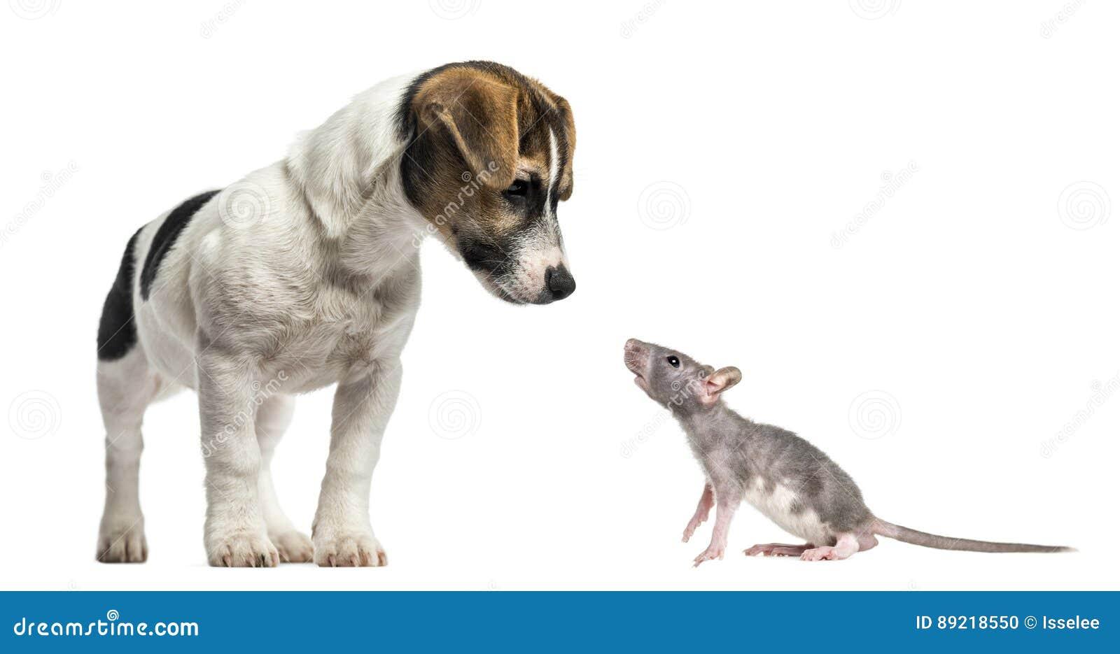 杰克罗素狗、4个月和幼小无毛的鼠