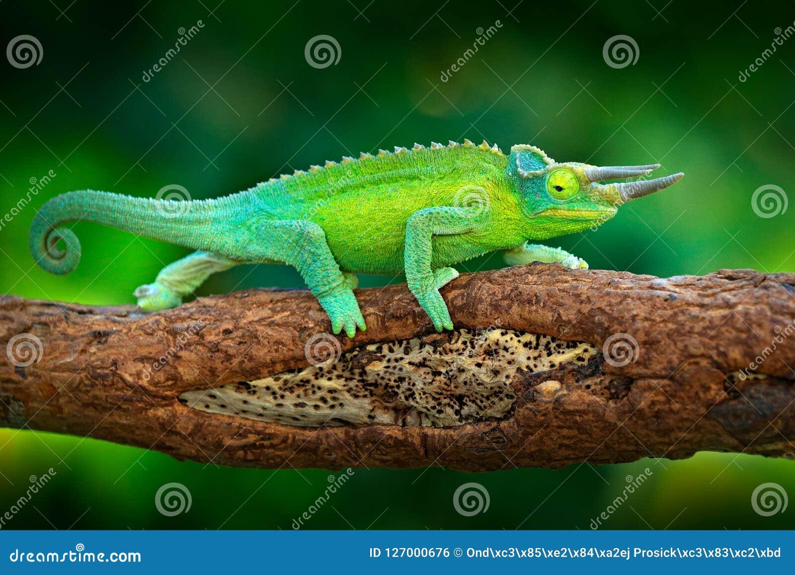 杰克逊` s变色蜥蜴, Trioceros jacksonii,坐分支在森林栖所 与lo的异乎寻常的美丽的地方性绿色爬行动物