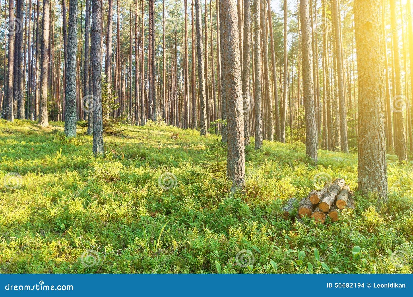 Download 松林 库存照片. 图片 包括有 森林, 环境, 国家(地区), 灌木, 帆柱, 本质, 叶子, 具球果, 工厂 - 50682194