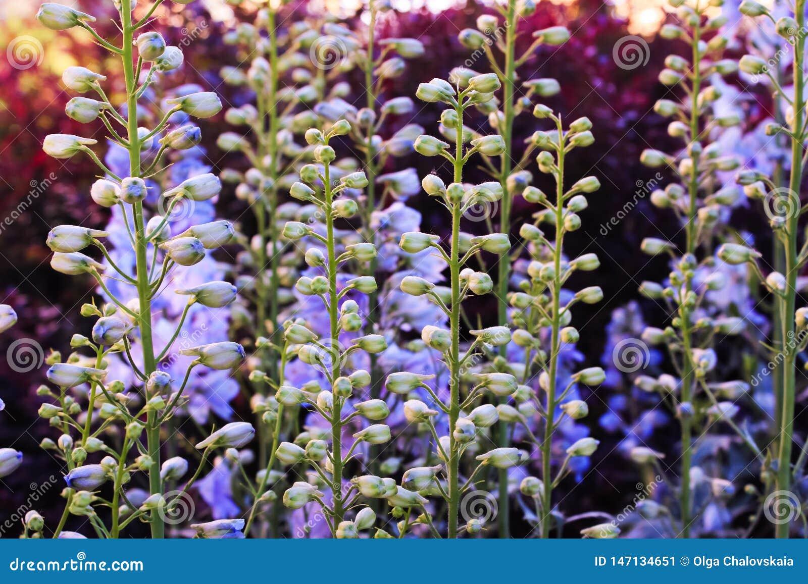 极光的野靛,一般叫作蓝色狂放的靛蓝或蓝色穗花槐在紫色日落在庭院里
