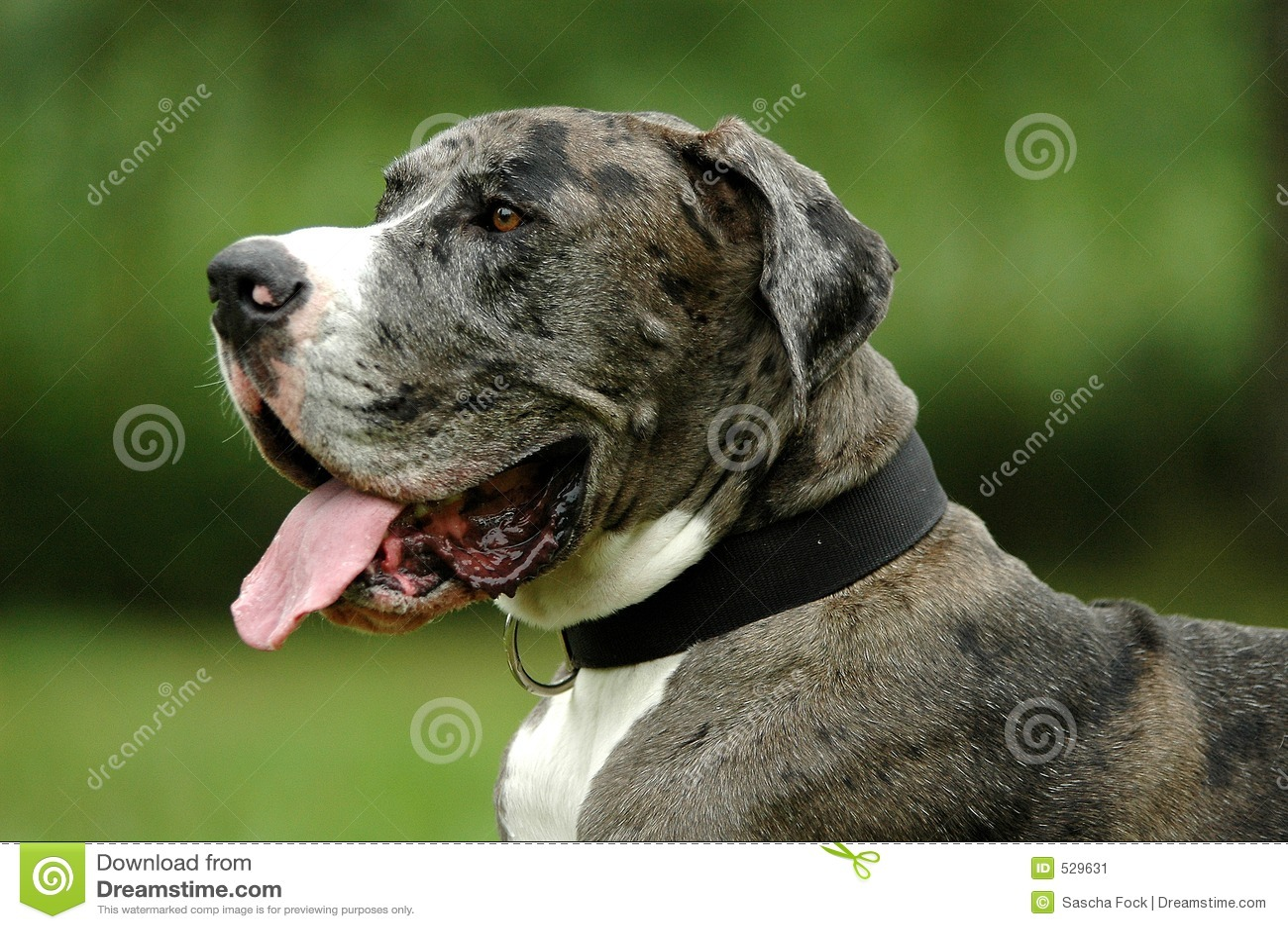 Download 极大的丹麦人 库存图片. 图片 包括有 宠物, 耳朵, 丹麦人, 敌意, 表面, 口水, 茴香, 鼻子, 极大 - 529631