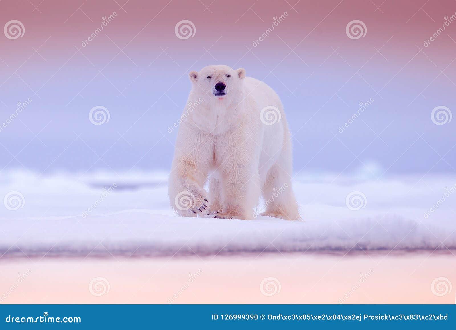 极性在海涉及与雪的流冰边缘和水 白色动物在自然栖所,北部欧洲,斯瓦尔巴特群岛 野生生物scen