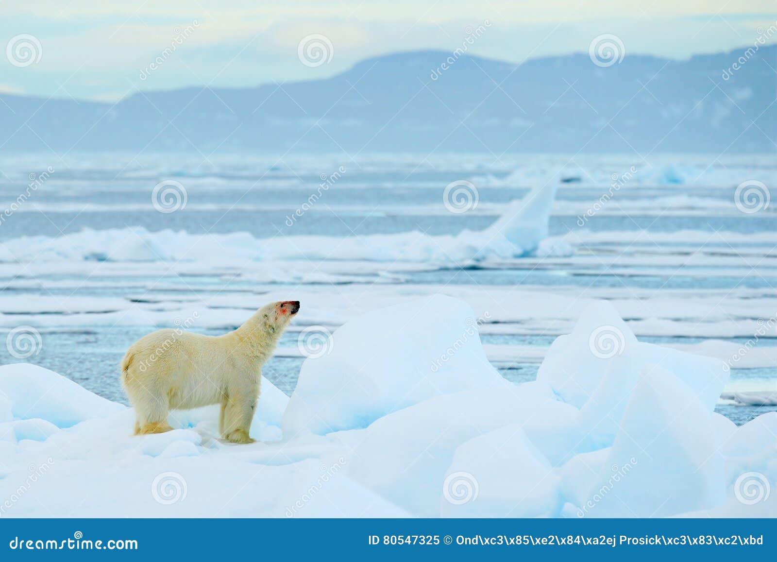 极性在自然栖所涉及与雪,白色动物,斯瓦尔巴特群岛,挪威的流冰 连续北极熊在冷的海 极性