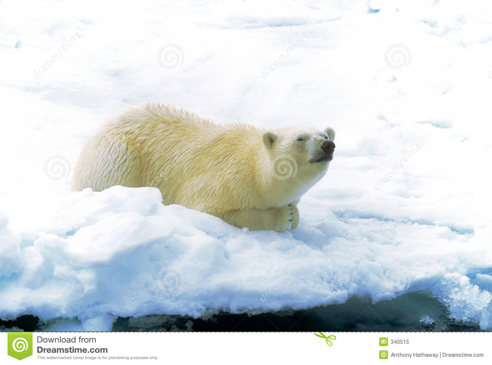 极性熊的冰