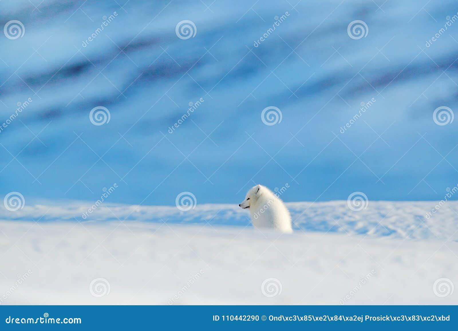 极性狐狸在栖所,冬天风景,斯瓦尔巴特群岛,挪威 在雪的美丽的动物 连续狐狸 野生生物从自然的行动场面