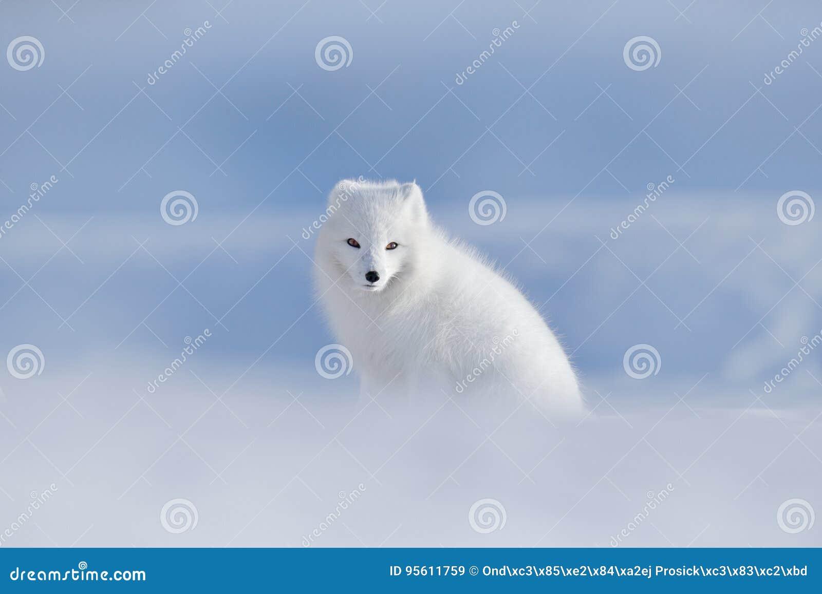 极性狐狸在栖所,冬天风景,斯瓦尔巴特群岛,挪威 在雪的美丽的动物 坐的白狐 野生生物行动场面从