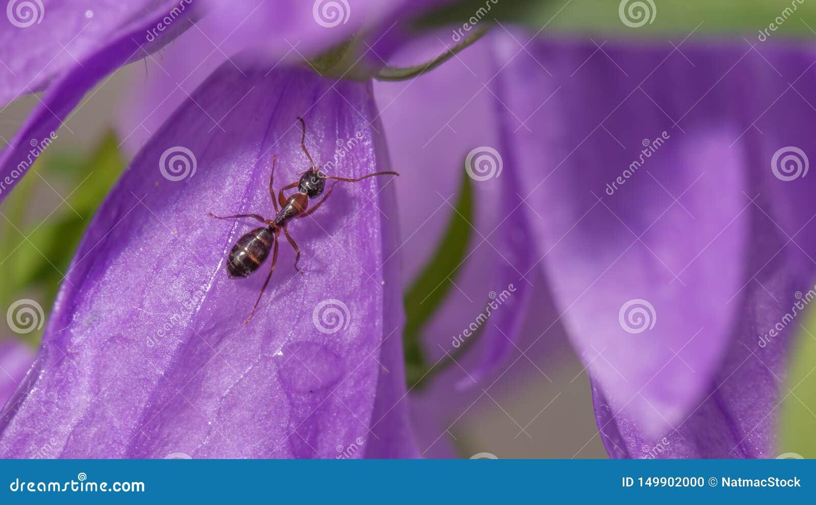 极端紫色野花的特写镜头详细的图象与攀登对此-蚂蚁的了不起的宏观细节蚂蚁的