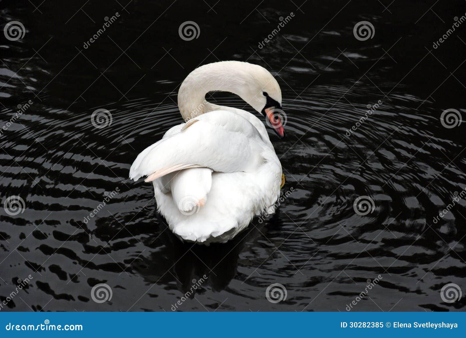 极端美丽的天鹅