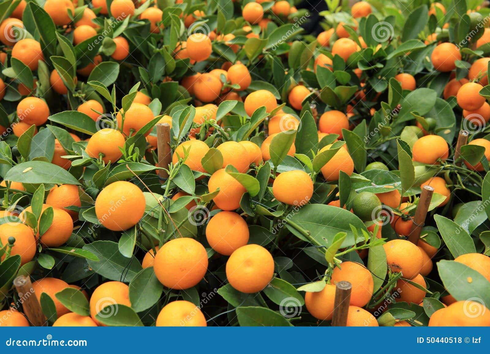 柑橘桔子在树增长愉快的春节.