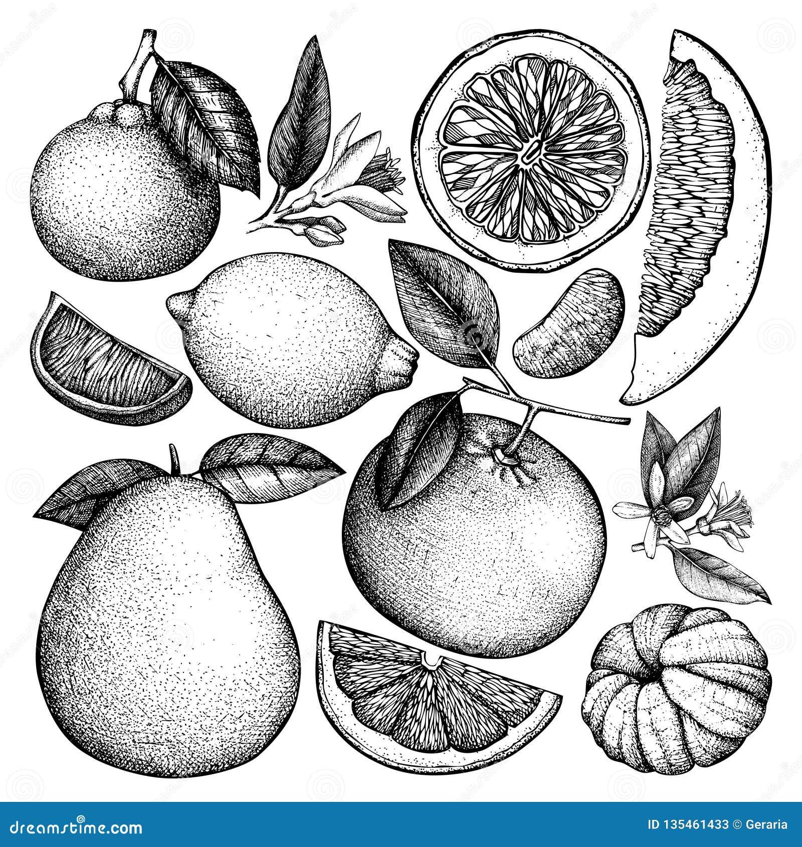 柑橘水果的葡萄酒墨水手拉的收藏 在白色背景隔绝的传染媒介图画 速写的例证高度