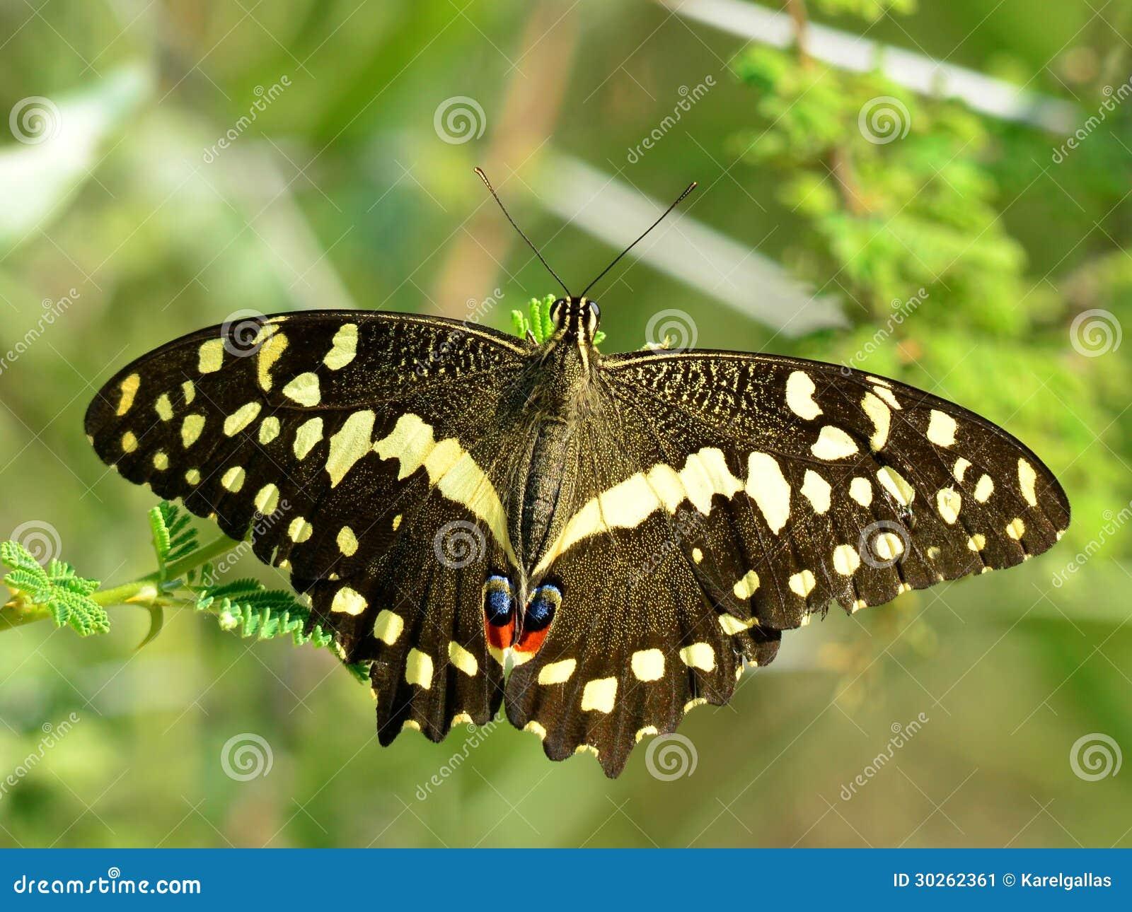 柑橘swallowtail