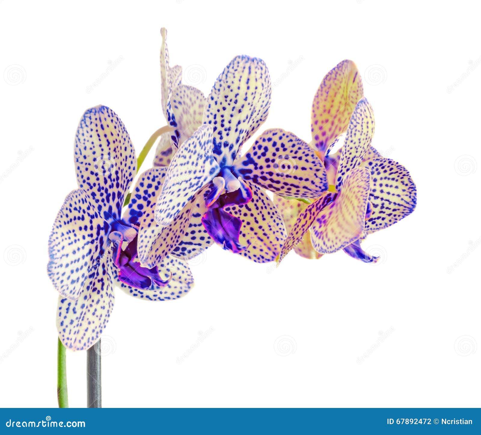 染黄与蓝色斑点分支兰花花,兰科,叫作蝴蝶兰的兰花植物