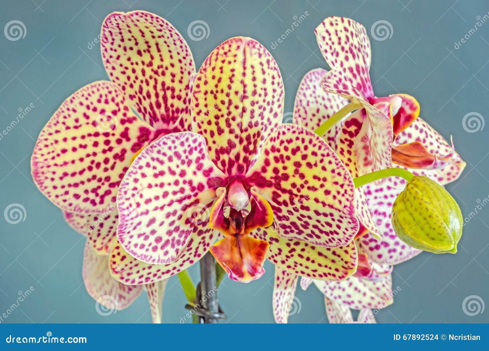 染黄与紫色斑点分支兰花花,兰科,叫作蝴蝶兰的兰花植物