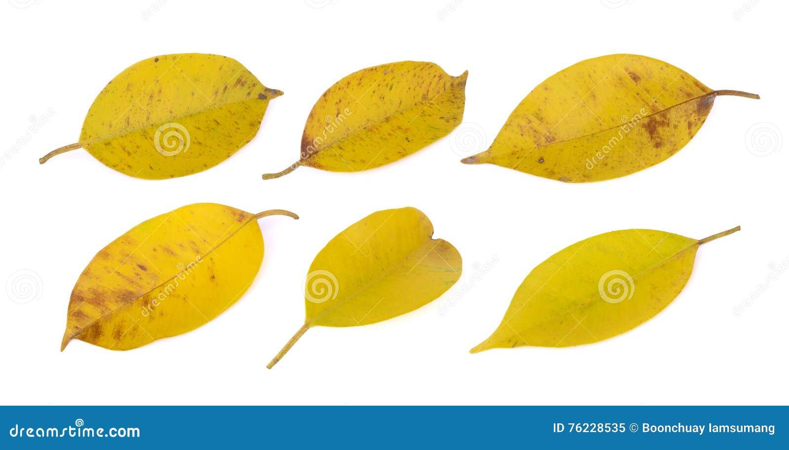 染黄的叶子(印度榕树)在白色