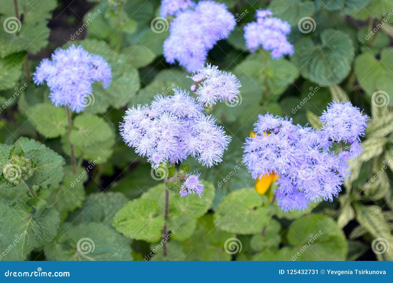 柔和的矮小的蓝色花