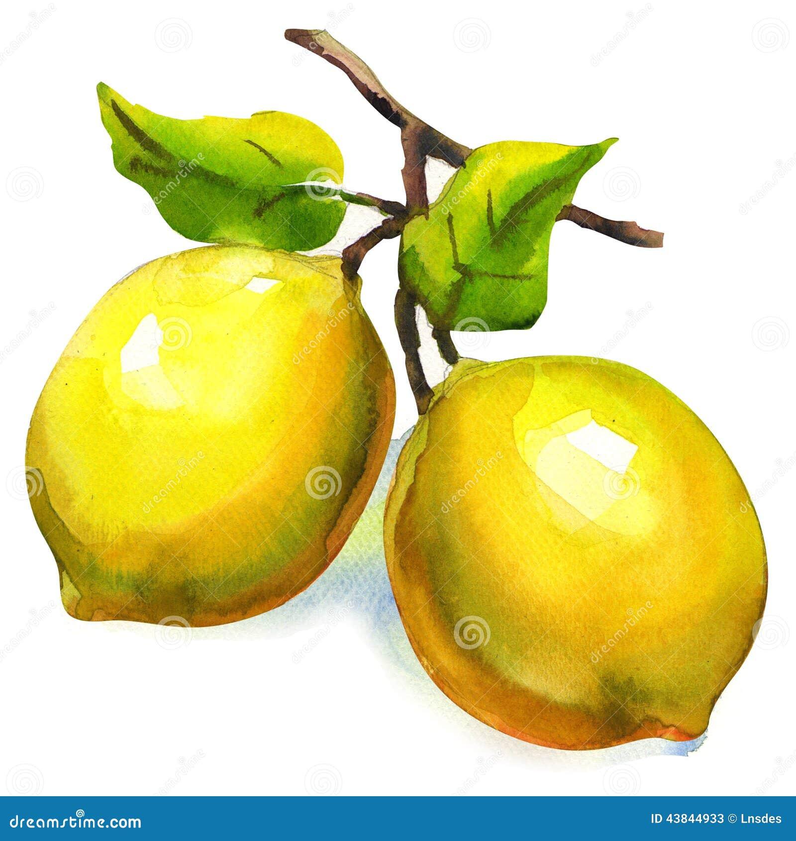 柠檬分支与被隔绝的叶子的