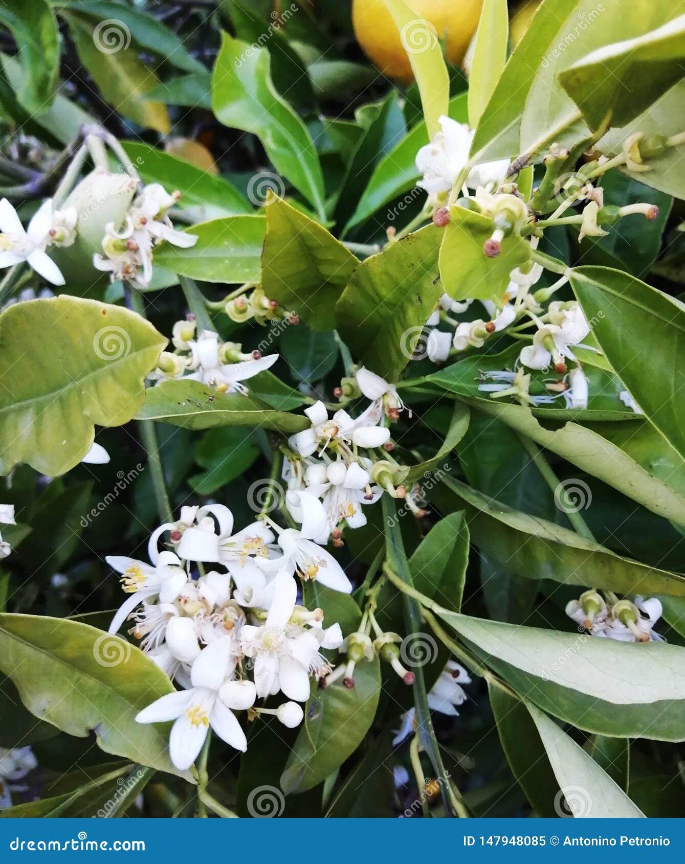 柠檬开花,从绿化的白色
