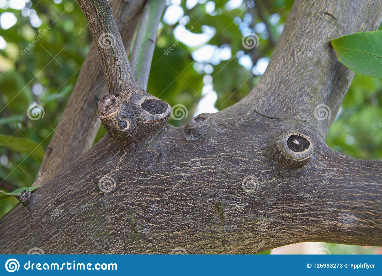 柠檬树肢体
