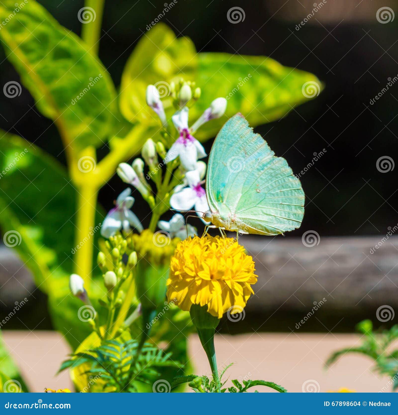 柠檬移出境者,蝴蝶