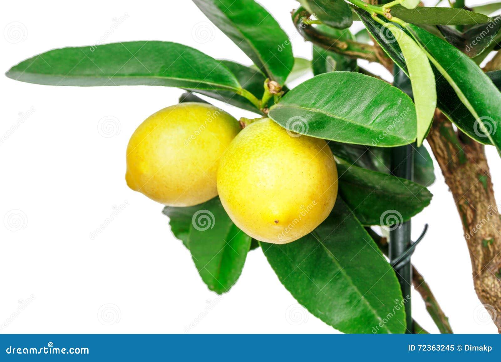 查出的柠檬树白色