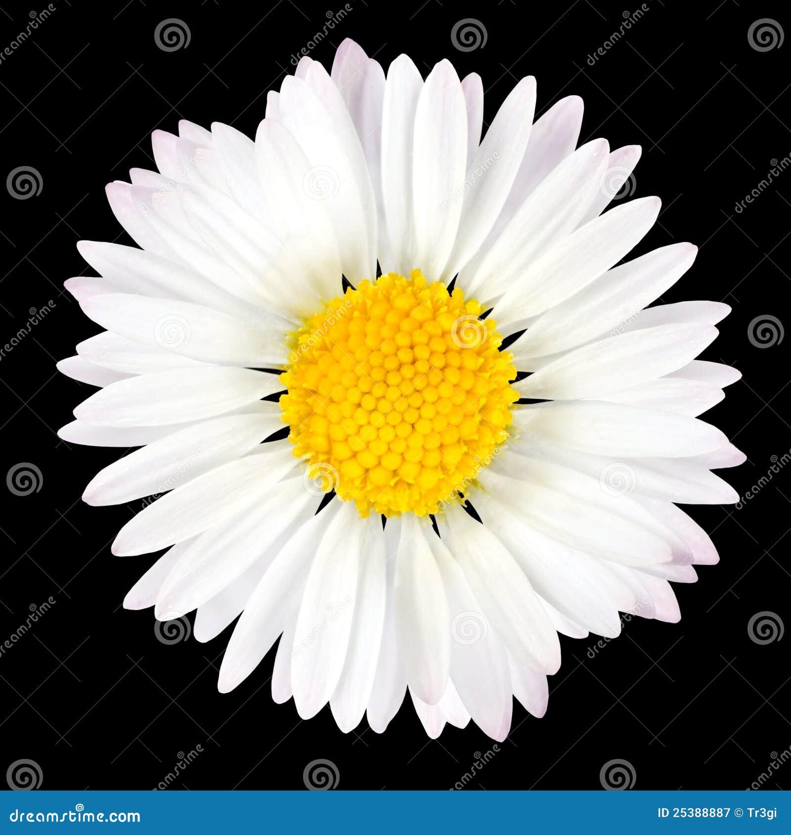 查出的背景黑色雏菊花