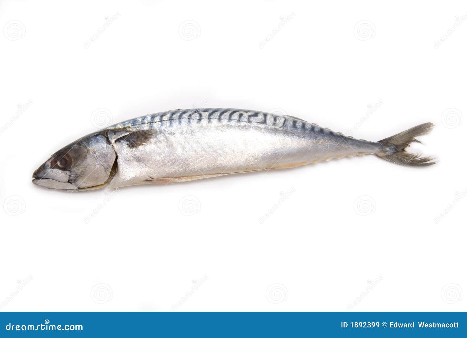 查出的鲭鱼白色