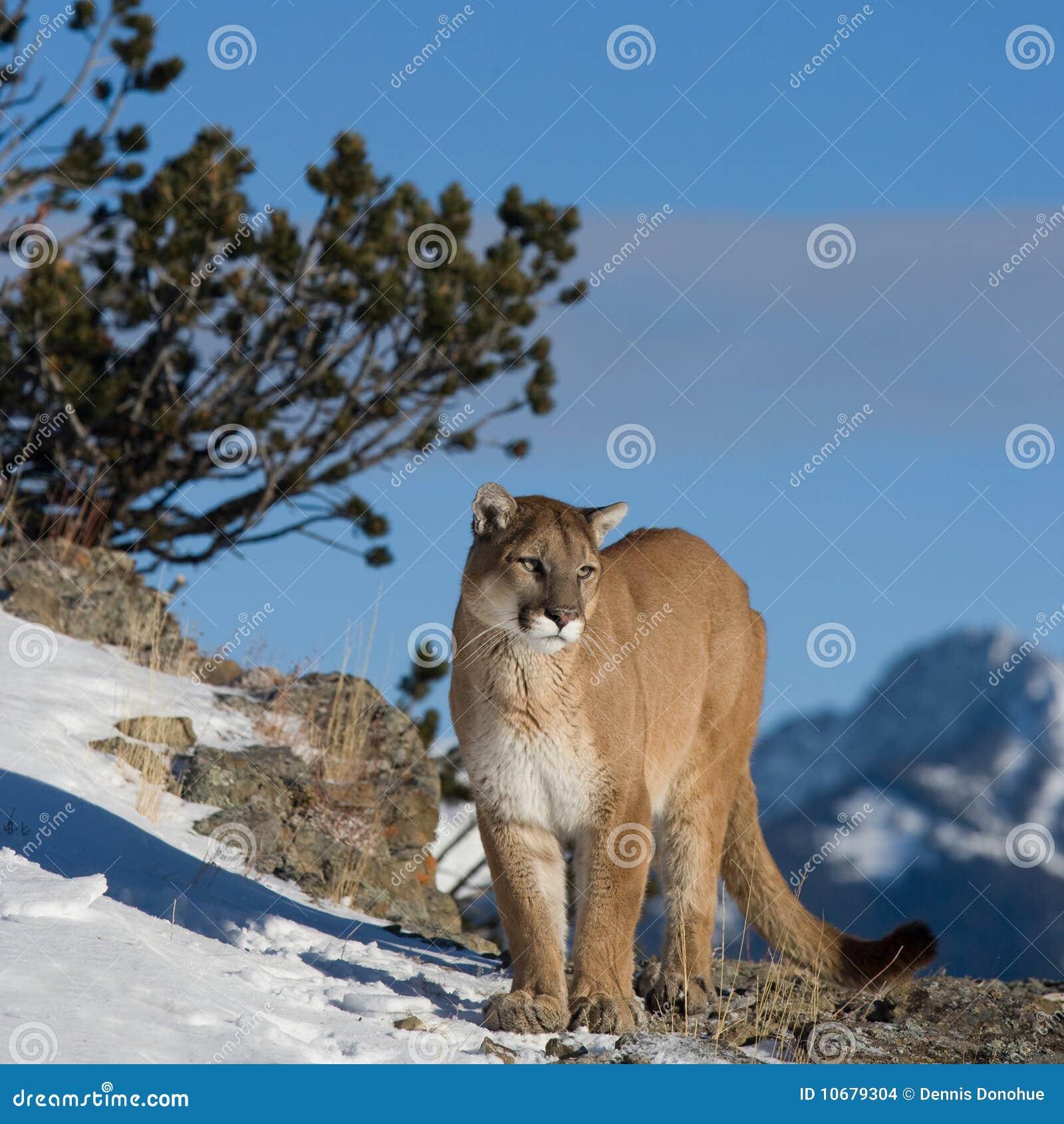 查找山谷的狮子