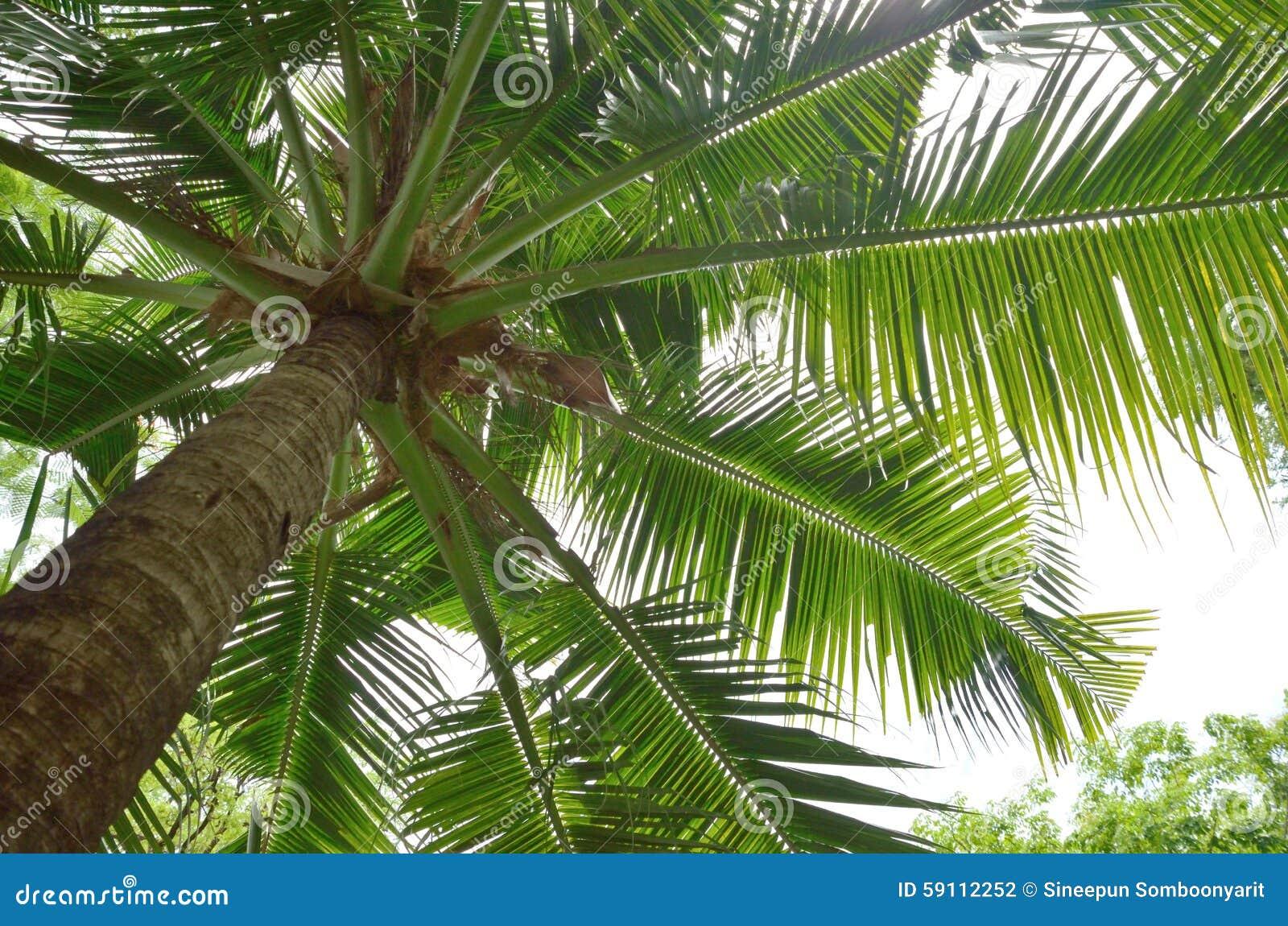 查寻对椰子树