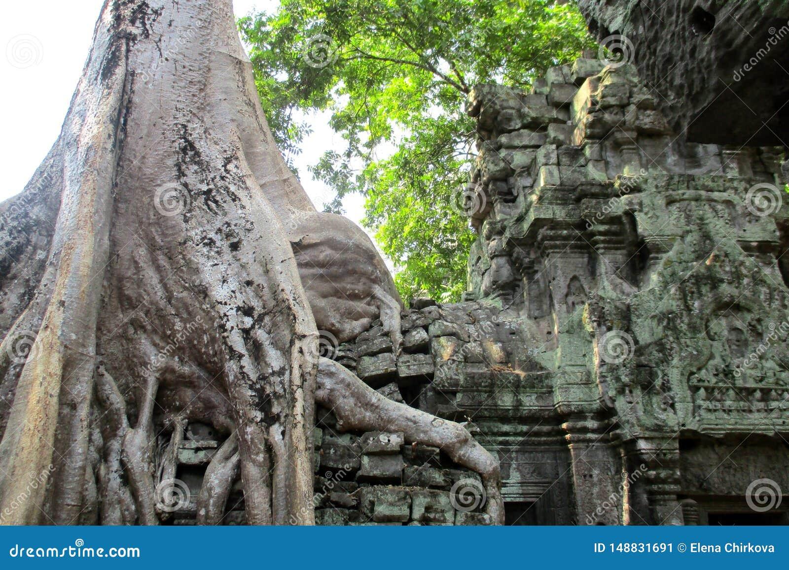 柬埔寨吴哥窟Ta正式舞会树古典图片