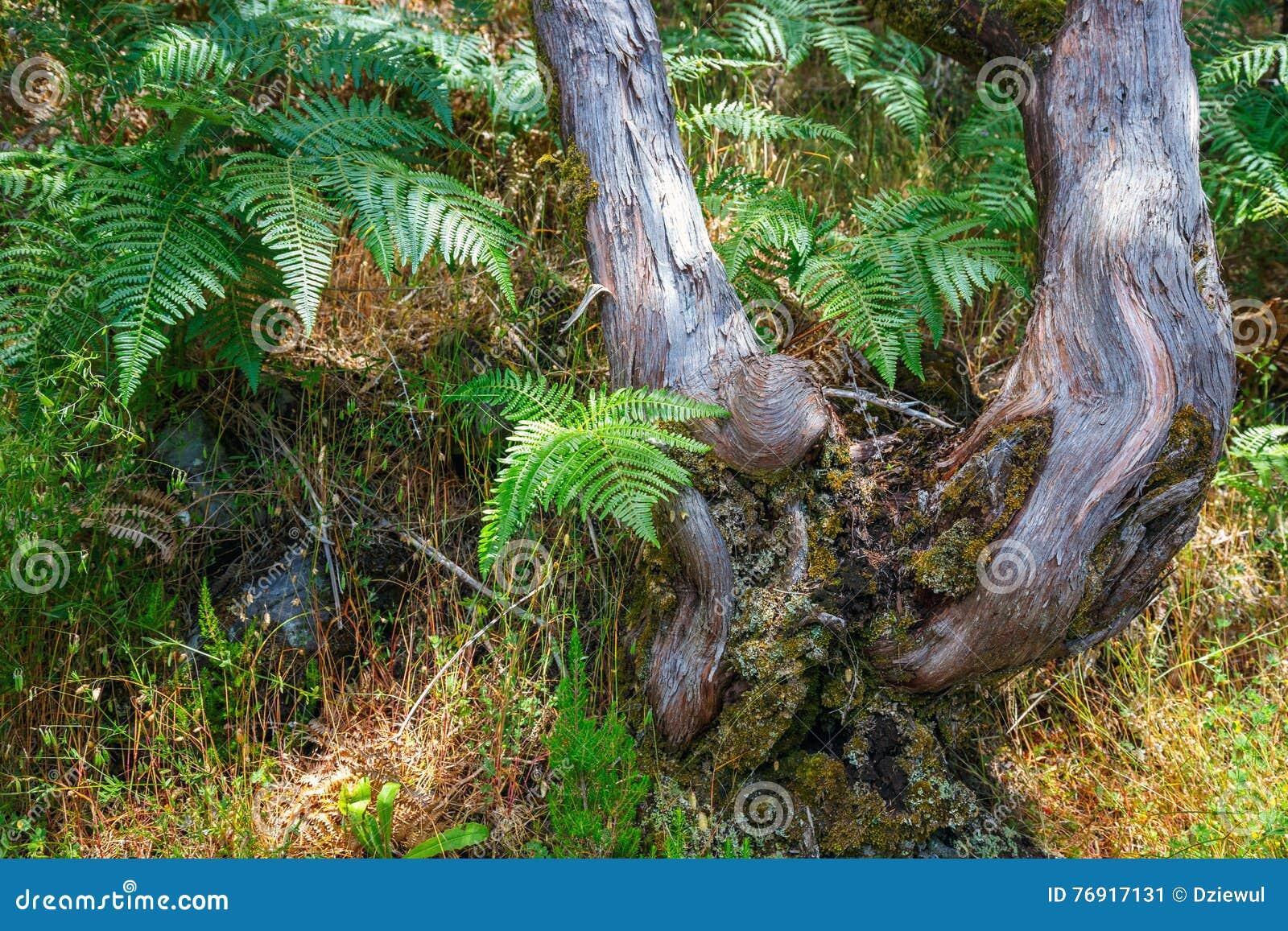 树在月桂树森林里