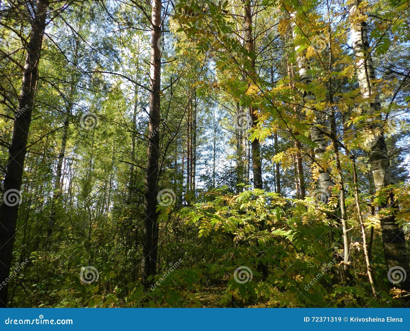 树在森林里在一秋天天