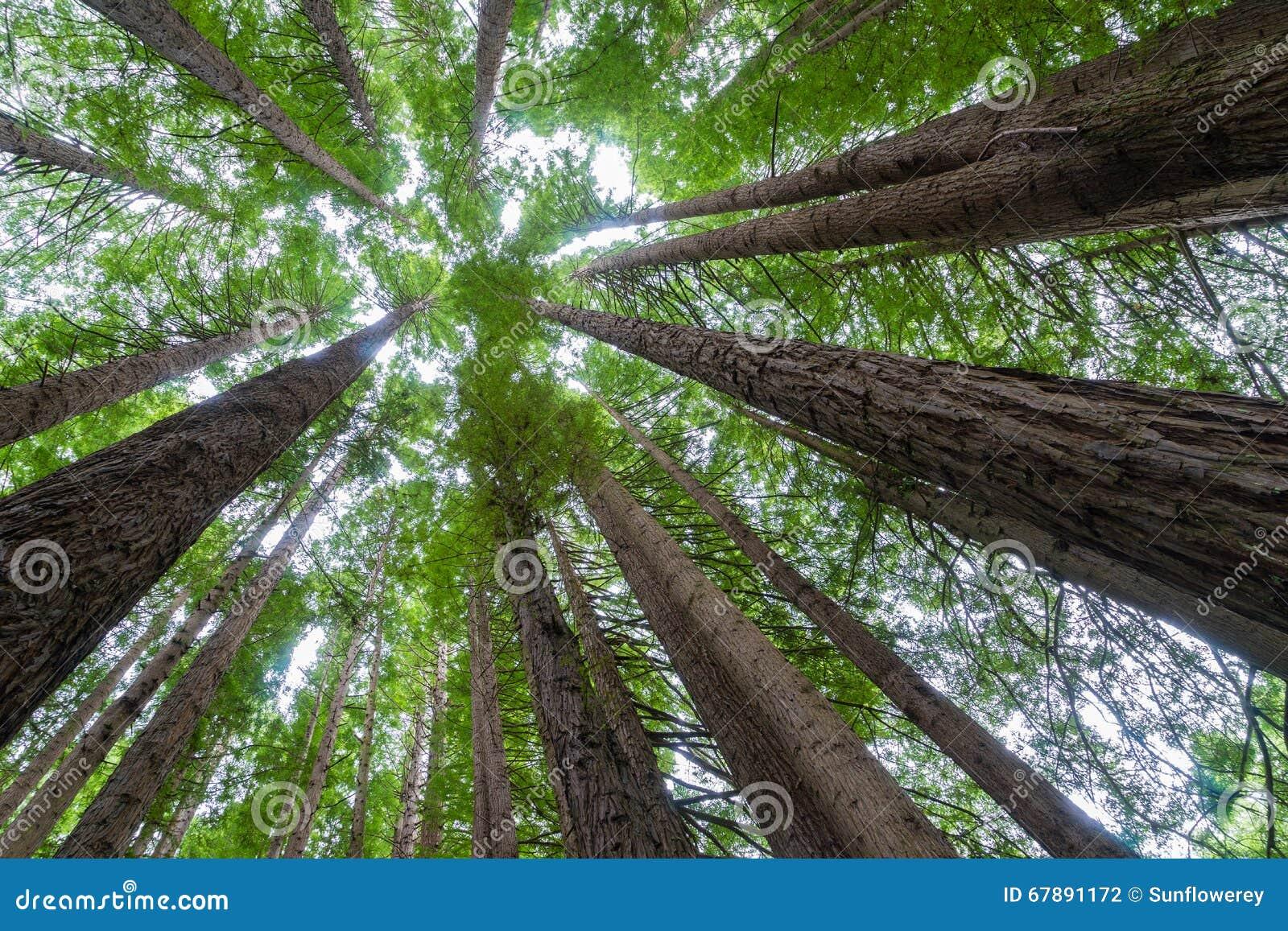 树射击了加利福尼亚红木森林在维多利亚,澳大利亚