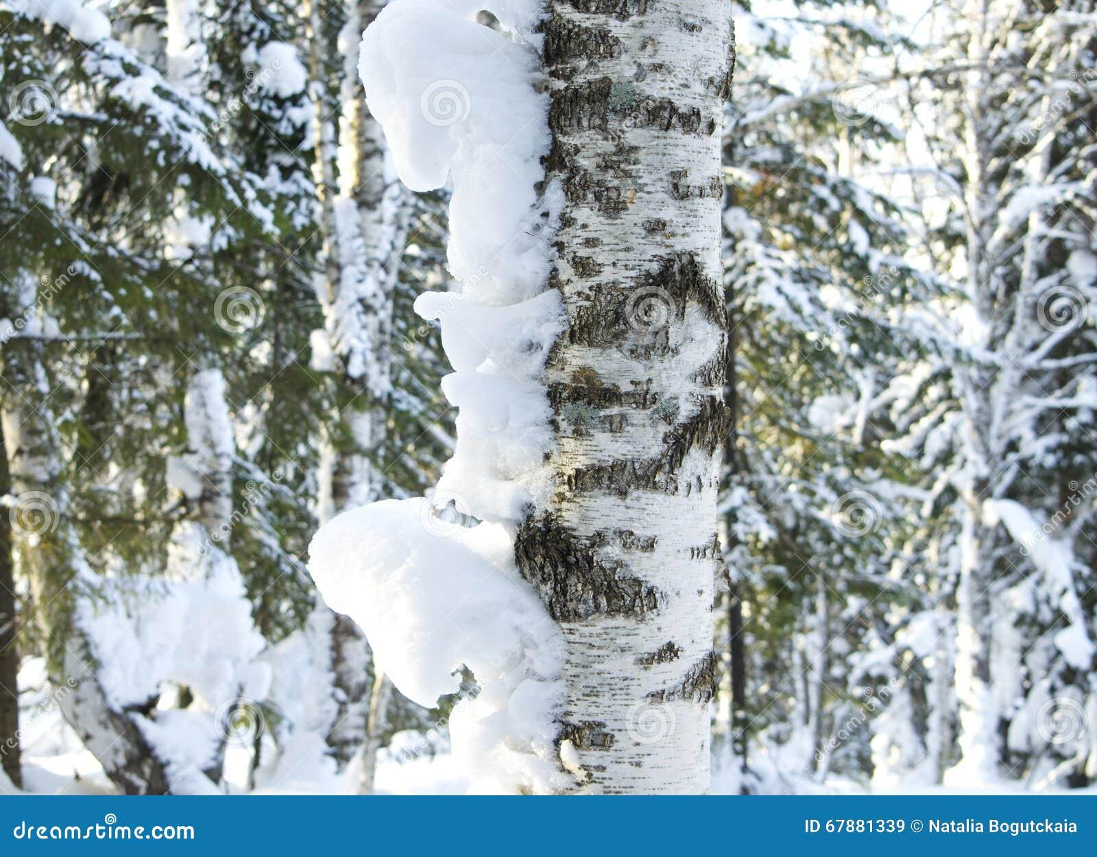 树干在雪的桦树