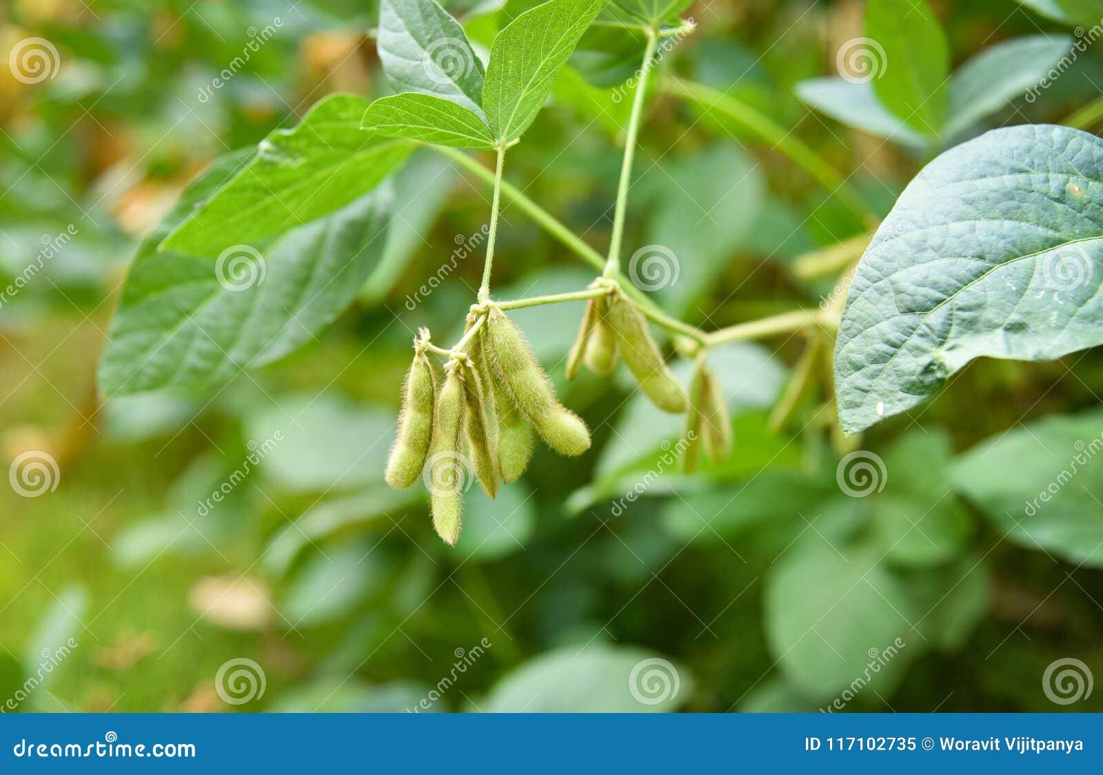 树的大豆植物