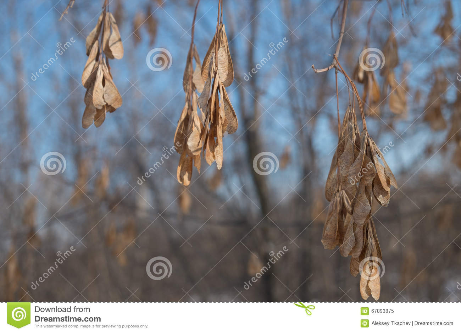 树的干燥种子
