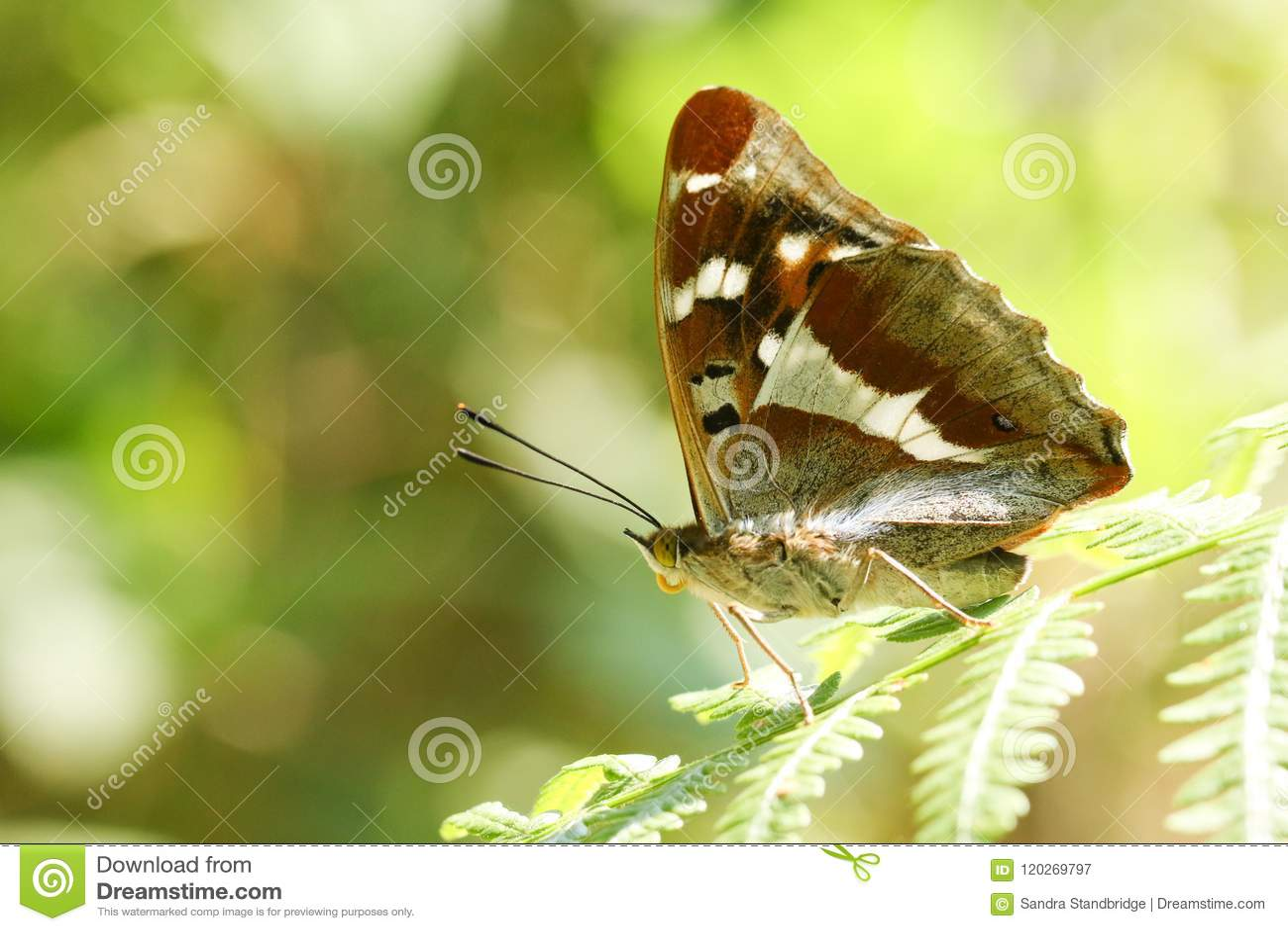 栖息在一片蕨叶子的惊人的罕见的男性帝王紫蛱蝶蝴蝶闪蛱蝶属虹膜在森林地
