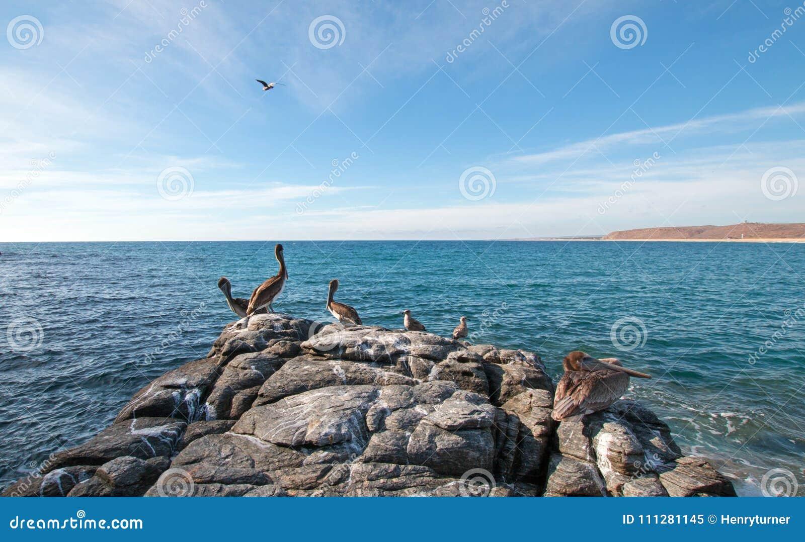 栖息在岩石露出的加利福尼亚布朗鹈鹕在喜瑞都靠岸在蓬塔罗伯斯在下加利福尼亚州墨西哥