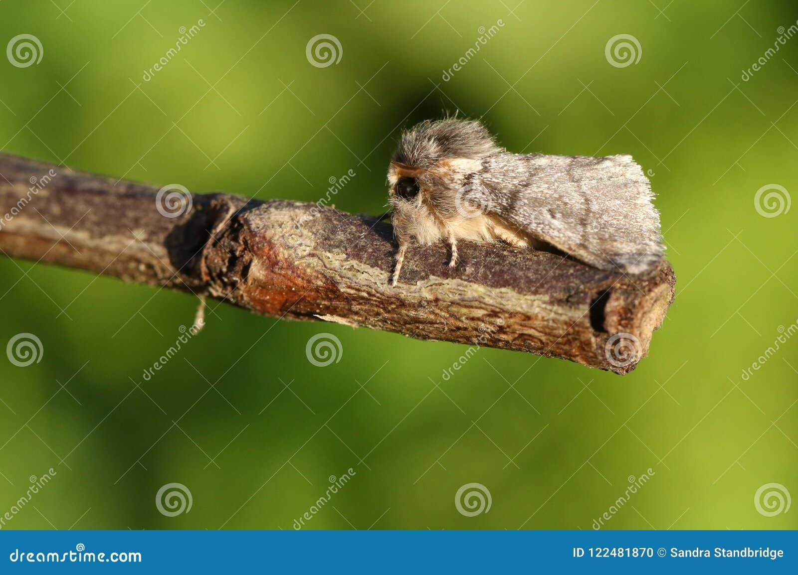 栖息在枝杈的一惊人的罕见的橡木列队前进的飞蛾Thaumetopoea processionea