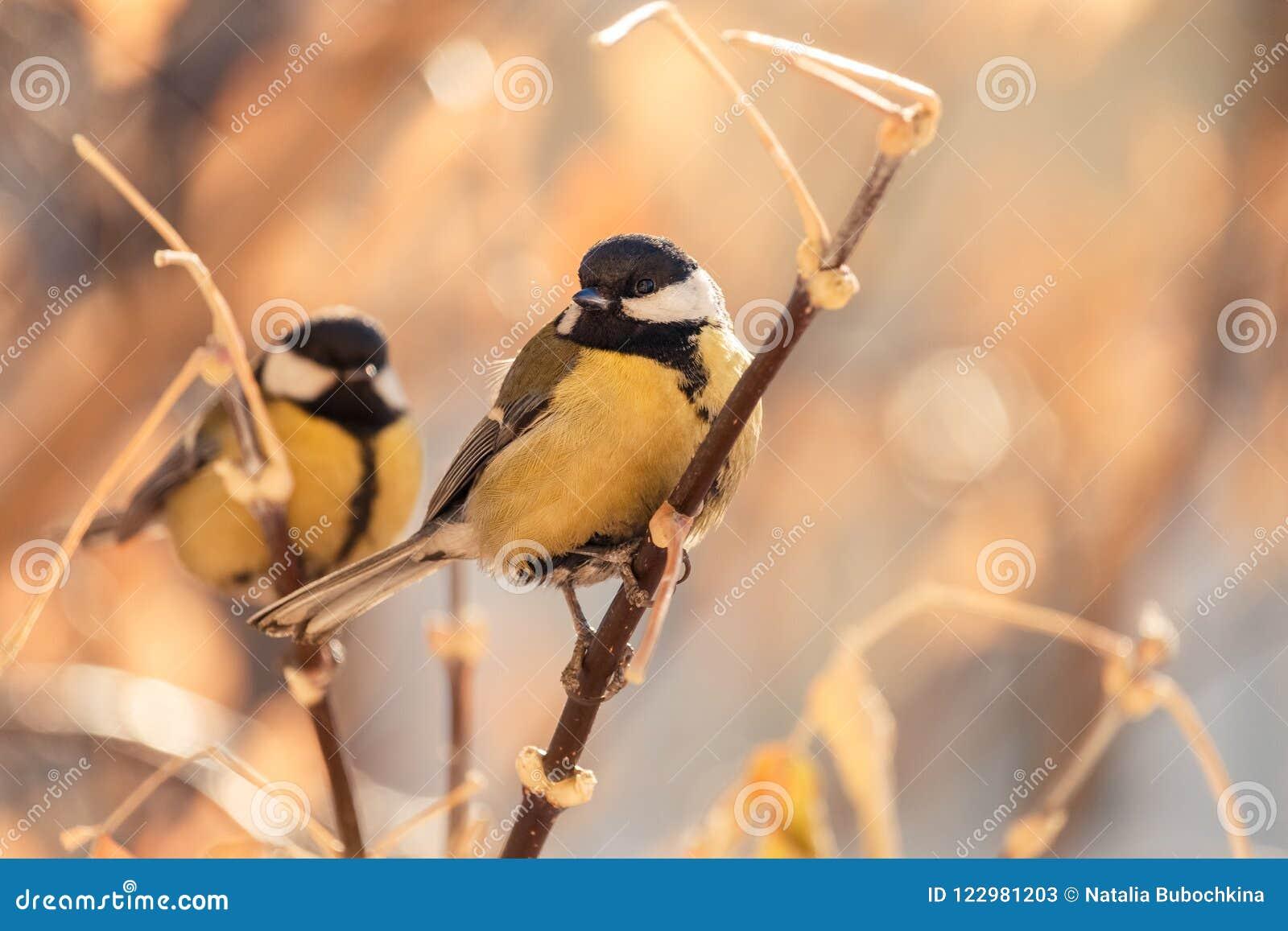 栖息在稀薄的灌木分支的两只伟大的山雀