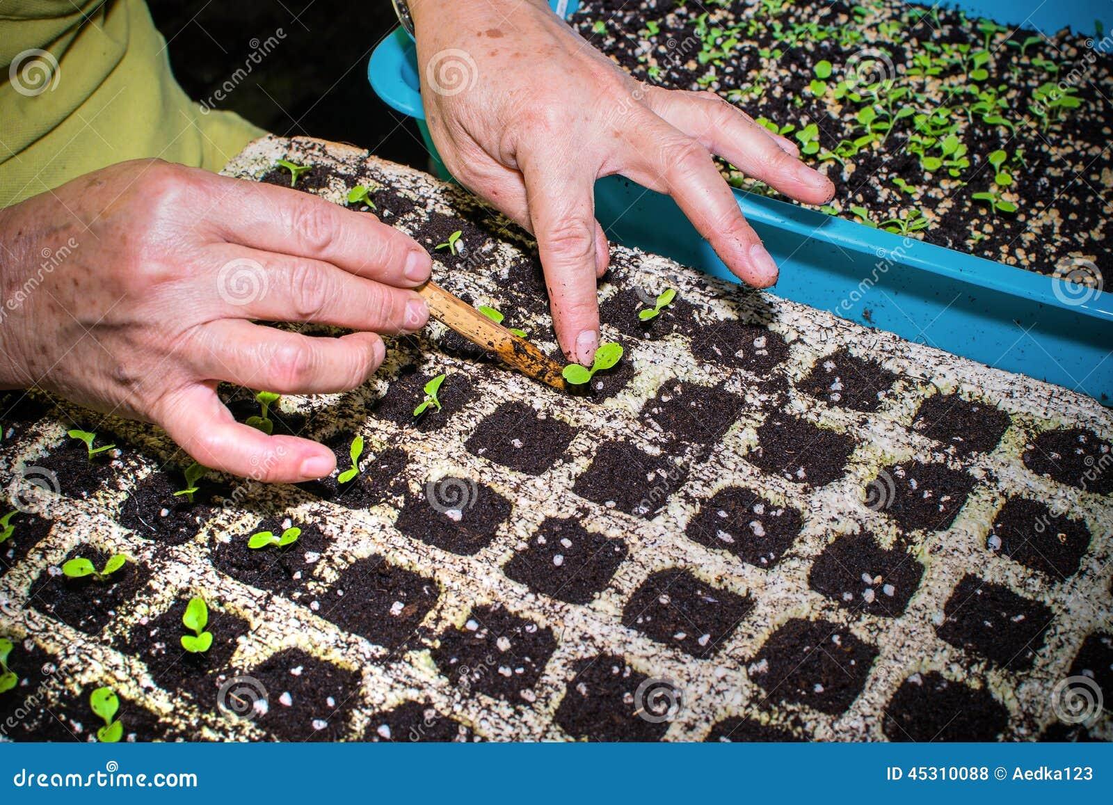 栽培植物,移植年幼植物的手库存...