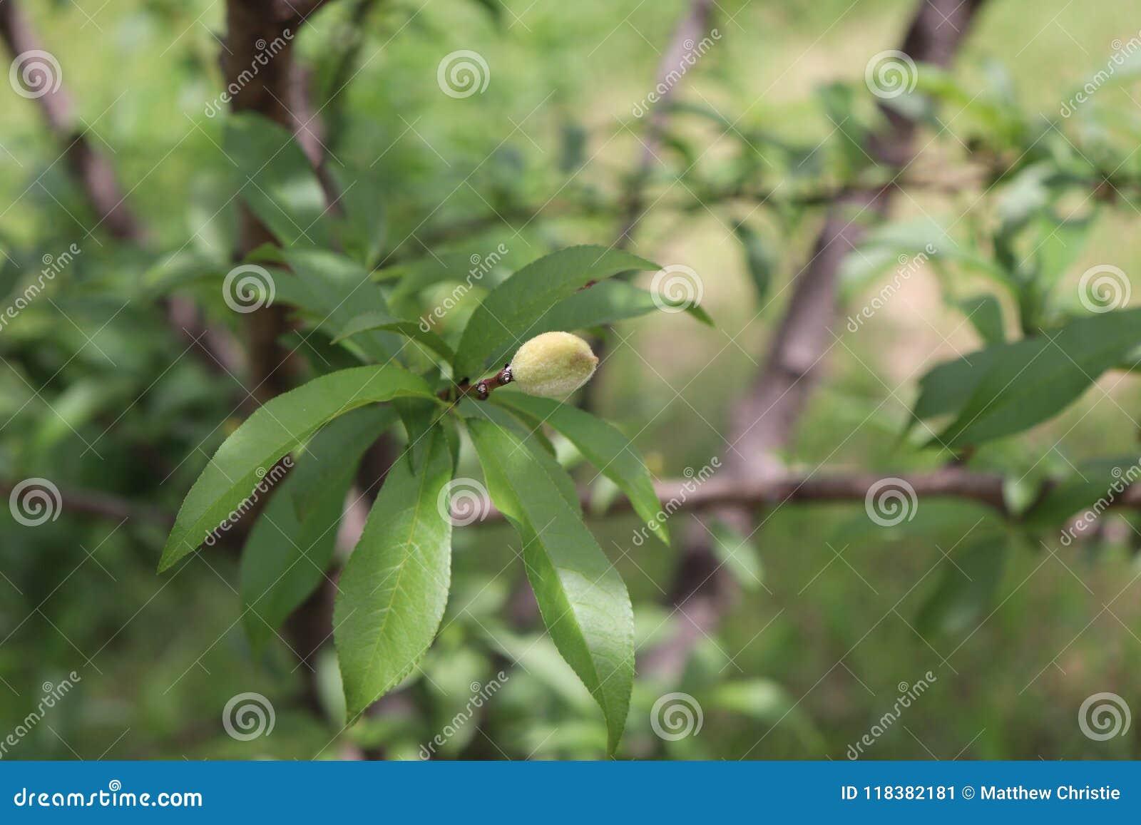 桃树,桃子,布朗,弄脏了背景
