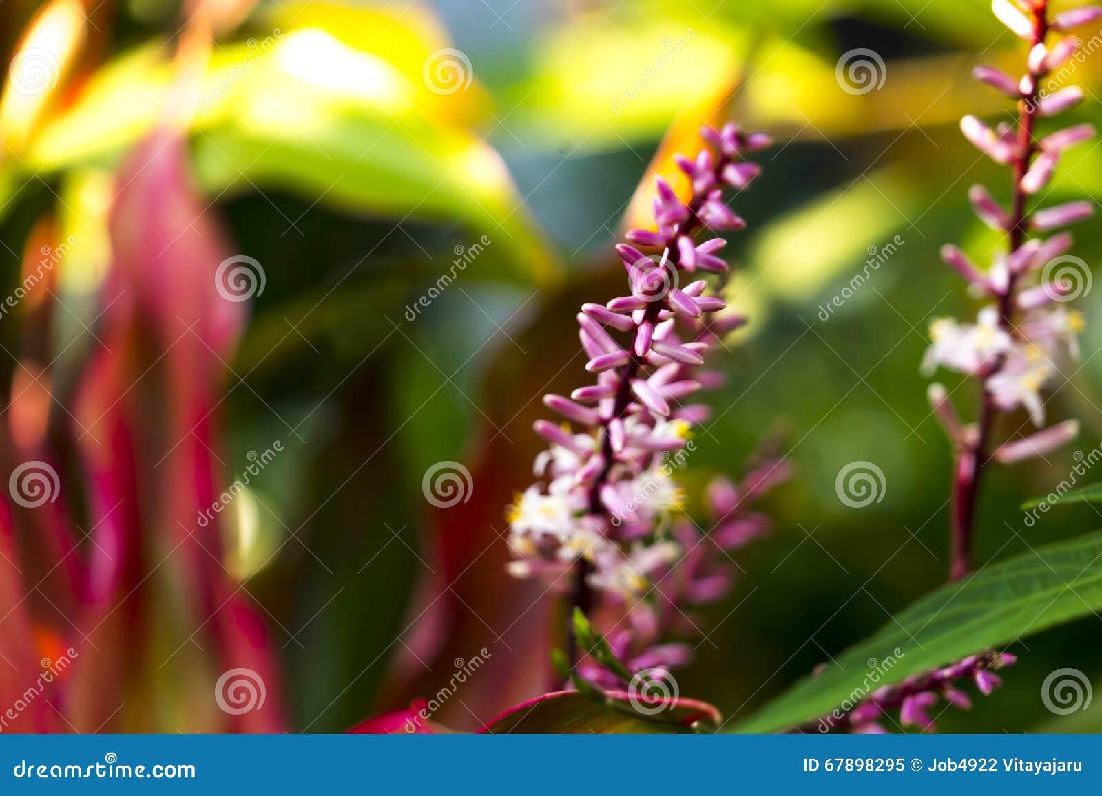 桃红色兰花