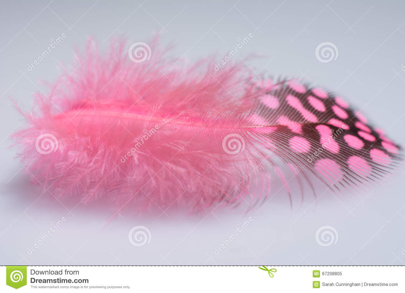 桃红色几内亚全身羽毛唯一羽毛